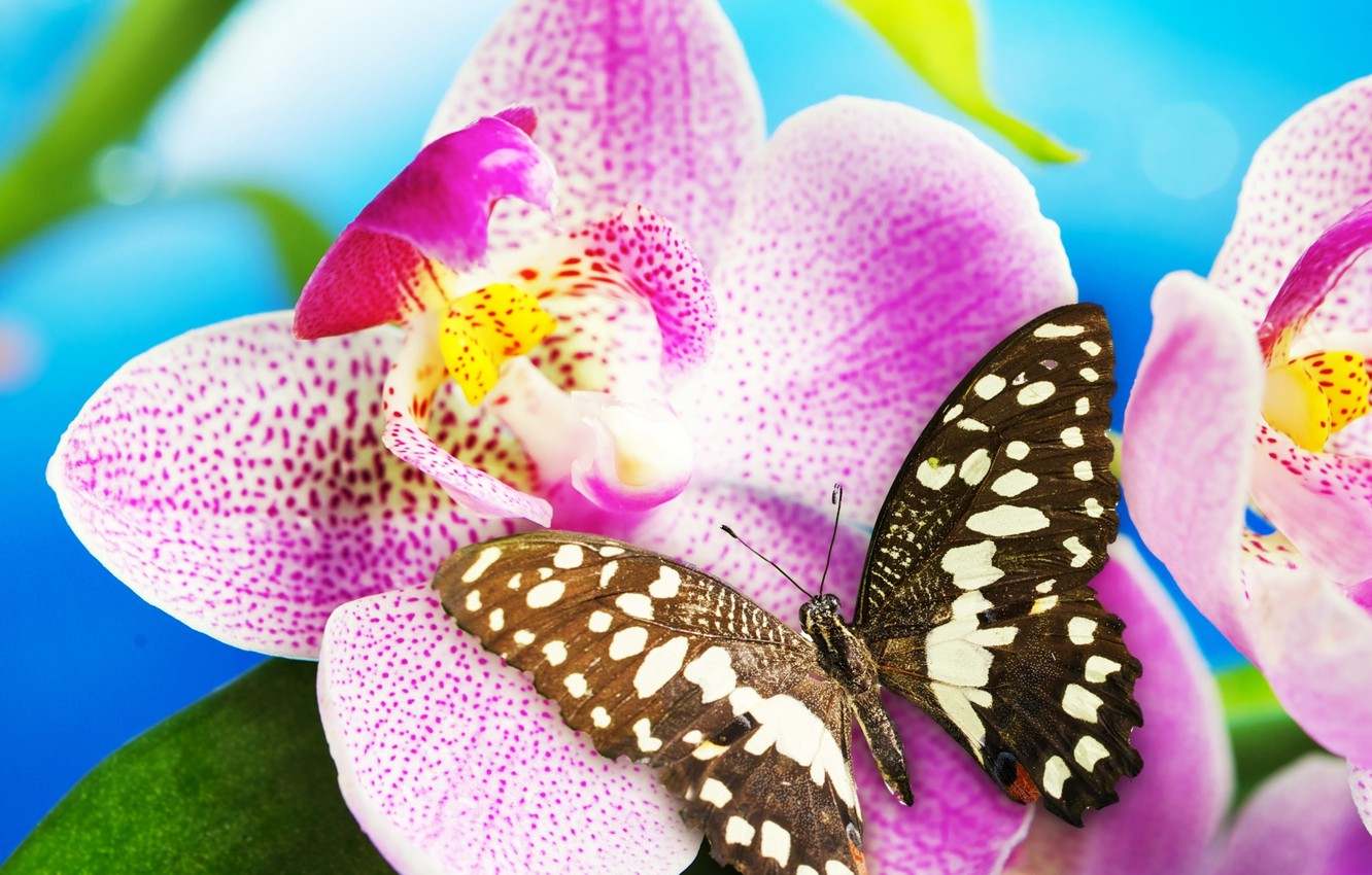 Photo wallpaper flower, butterfly, Orchid, blossom, butterfly, Orchid