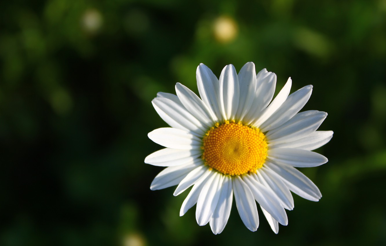 Photo wallpaper macro, yellow, petals, Daisy, green background, white flower