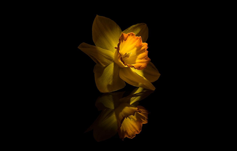 Photo wallpaper Flower, Yellow, Narcissus