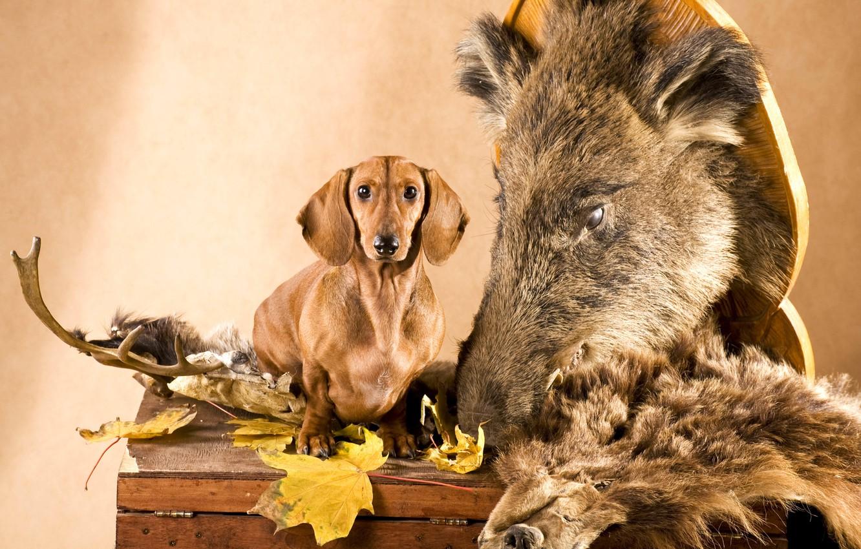 Photo wallpaper leaves, dog, head, skin, horns, Dachshund, chest, boar, hunter
