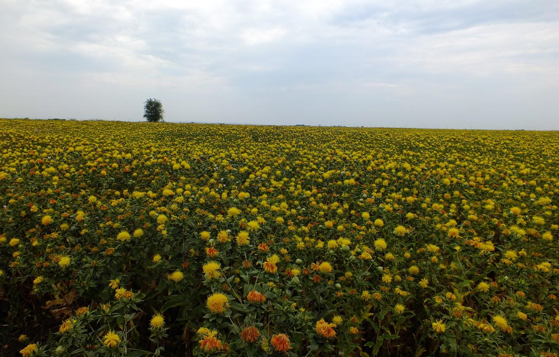 Photo wallpaper field, the sky, flowers, yellow, tree, Safflower