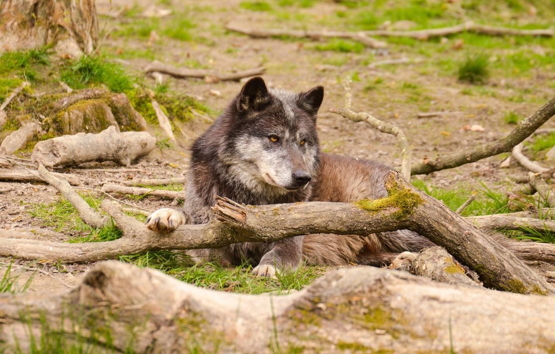 Photo wallpaper face, stay, wolf, predator