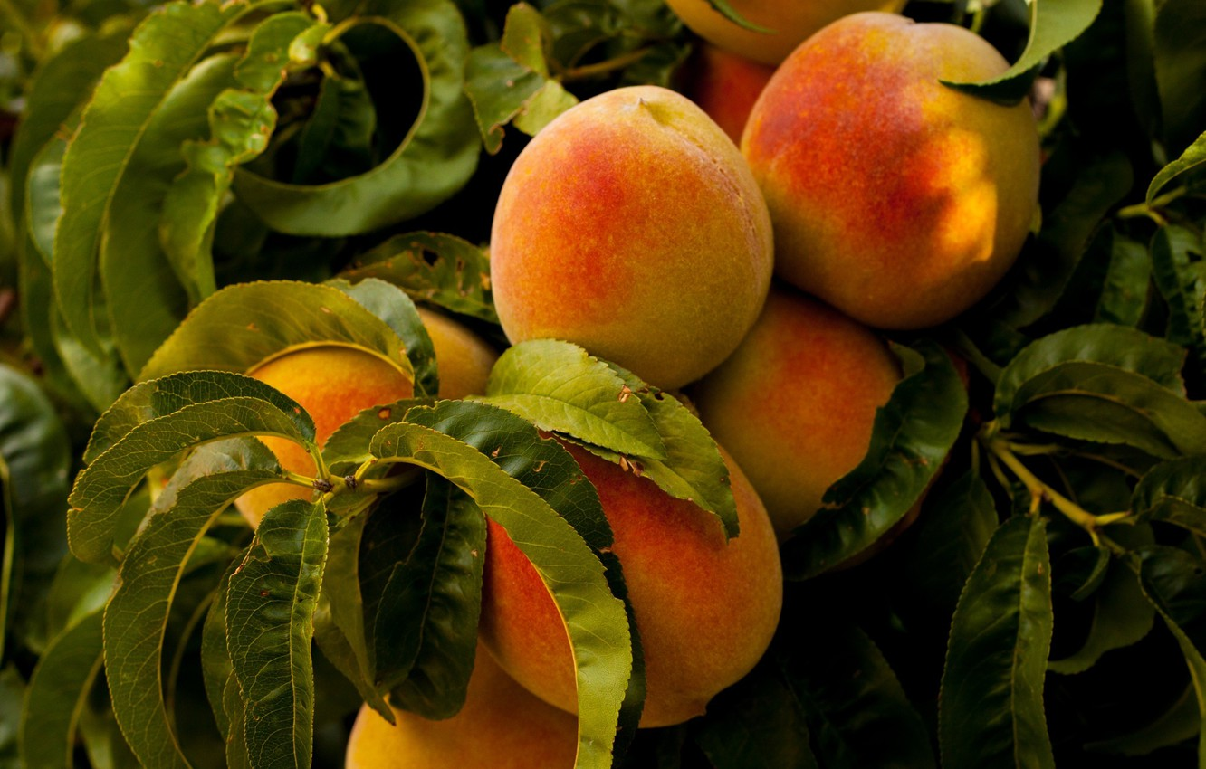 Photo wallpaper trees, nature, food, leaves, fruits, plants, peaches, healthy