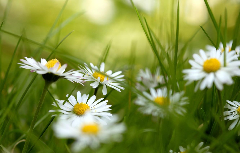 Photo wallpaper grass, flowers, chamomile