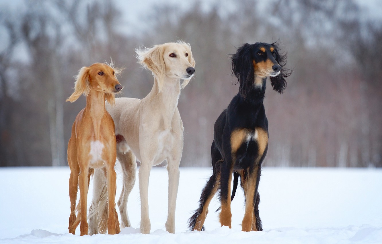 Photo wallpaper winter, dogs, snow, open-air, slider, Saluki, dogs-h