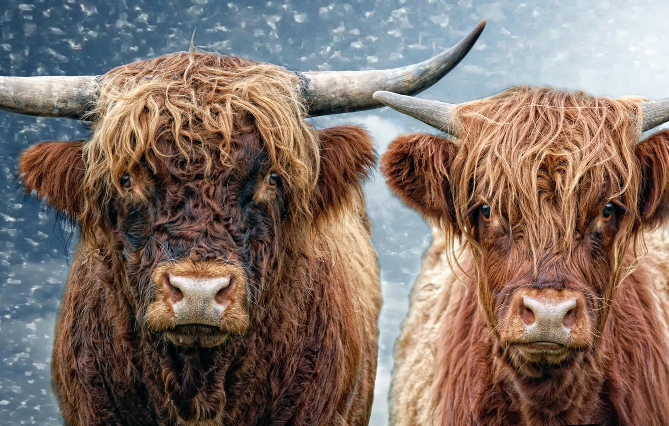 Photo wallpaper cow, bull, He and She