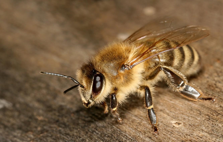 Photo wallpaper eyes, macro, bee, wings, legs, insect, antennae