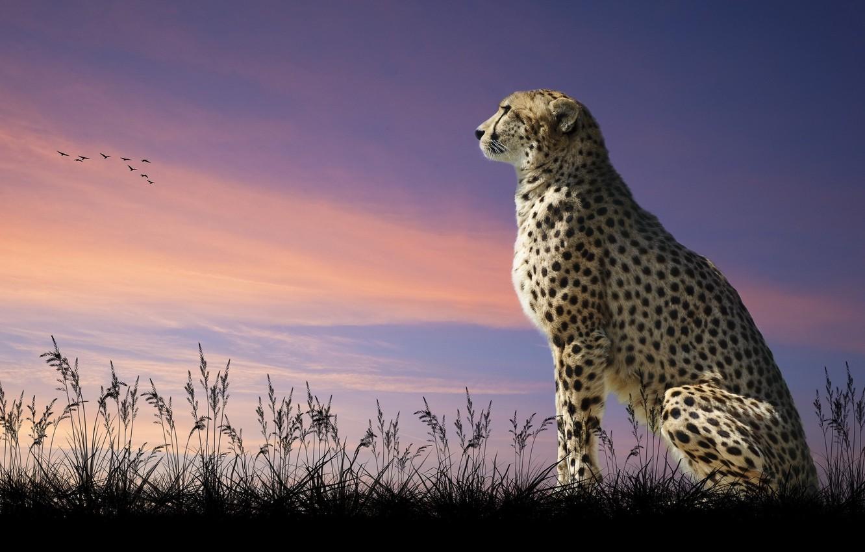 Photo wallpaper cat, the sky, predator, Cheetah, look into the distance
