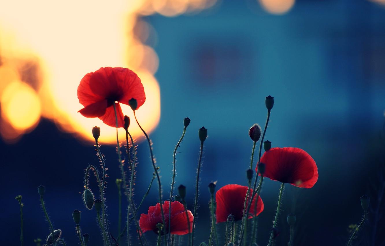 Photo wallpaper summer, light, sunset, flowers, nature, stems, color, Maki, plants, the evening, petals, flowering