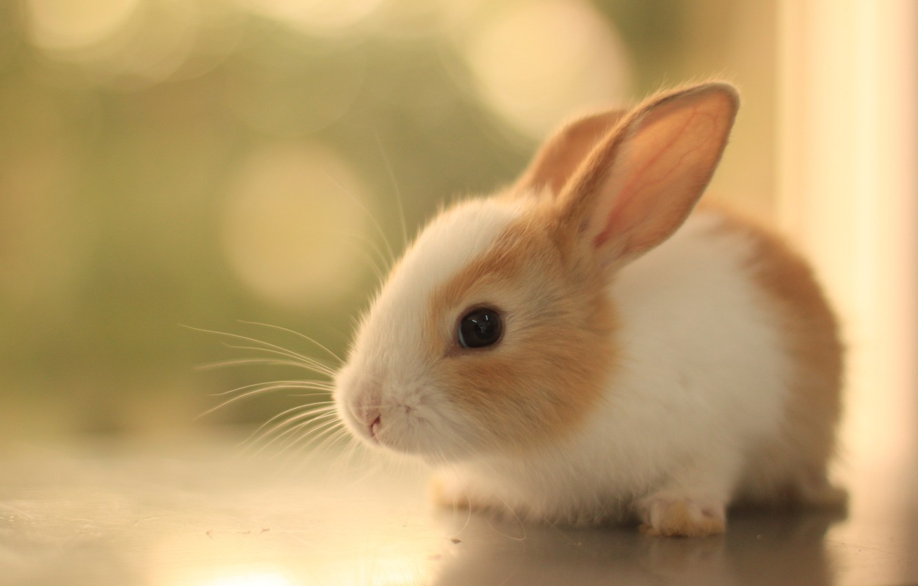 Photo wallpaper mustache, look, fluffy, rabbit, ears