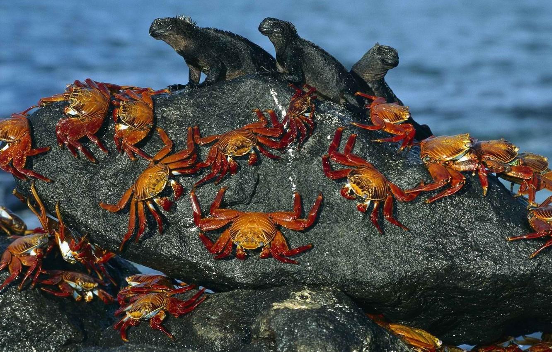 Photo wallpaper water, shore, stone, crab, eguana