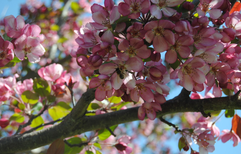 Wallpaper Flowers Bee Tree Sakura Cherry Blossom Images