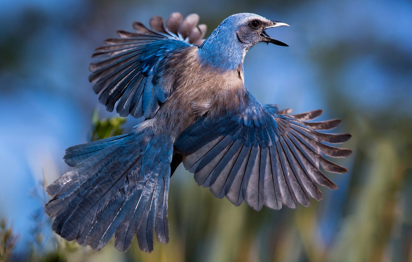 Photo wallpaper bird, wings, feathers, tail, Jay, Shrubby blue Jay