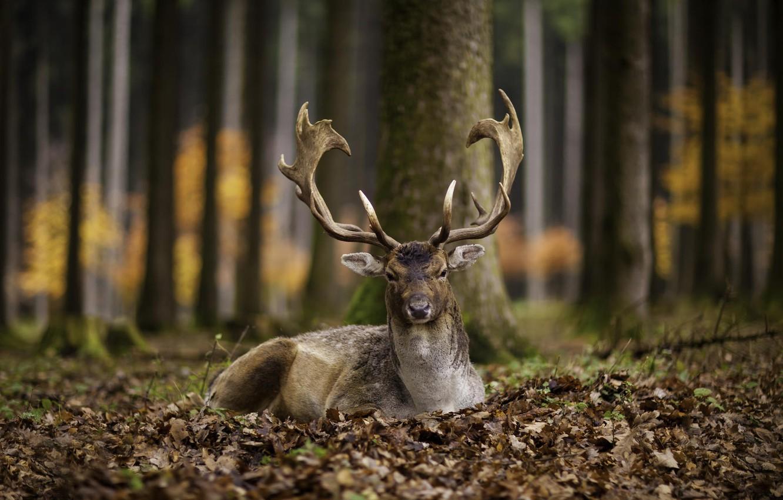 Photo wallpaper autumn, leaves, deer