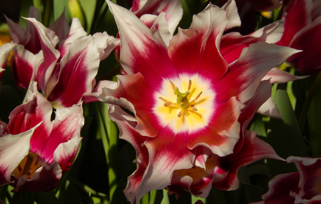 Photo wallpaper flowers, widescreen, Wallpaper, Tulip, spring, tulips, wallpaper, grass, flower, widescreen, flowers, background, the Wallpapers, full …
