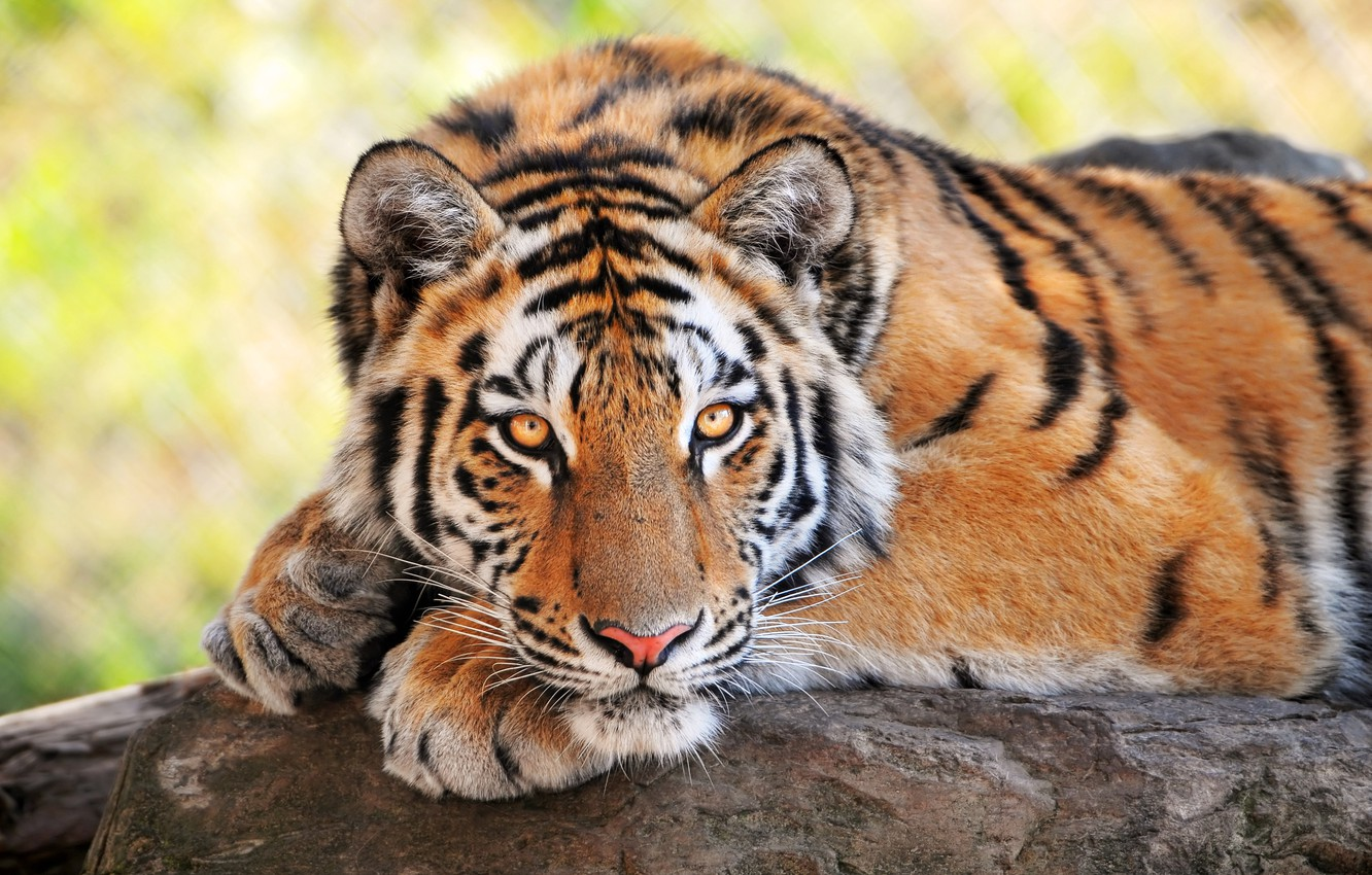 Photo wallpaper tiger, wild cats, looks, young