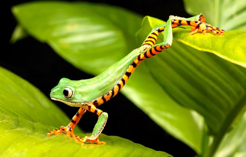 Photo wallpaper frog, green, jumping
