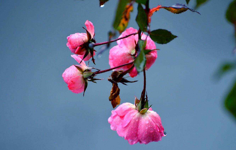 Photo wallpaper water, drops, macro, flowers, Rosa, petals