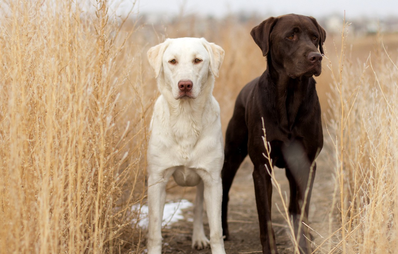 Photo wallpaper field, dogs, background