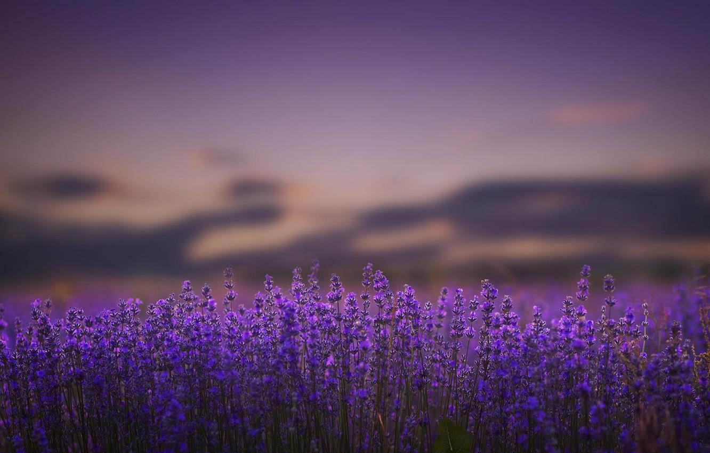 Photo wallpaper flowers, nature, lavender, lilac