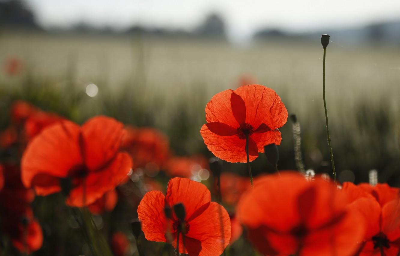 Photo wallpaper field, flowers, nature, Maki