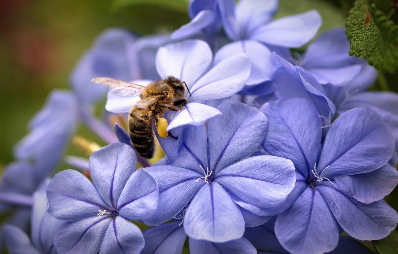 Photo wallpaper macro, flowers, focus, Bee, petals, lilac