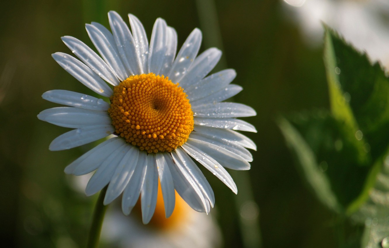 Photo wallpaper greens, white, flower, flowers, yellow, background, widescreen, Wallpaper, Daisy, wallpaper, widescreen, background, full screen, HD …