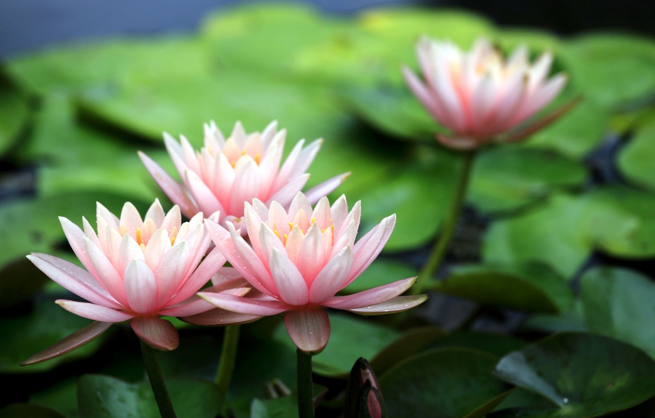 Photo wallpaper flowers, Lily, petals, pink, water lilies, water
