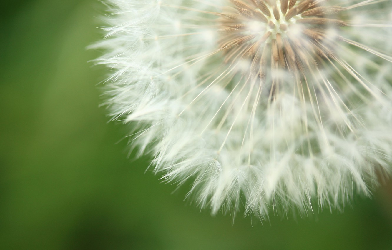 Photo wallpaper flower, nature, background, dandelion, fluff
