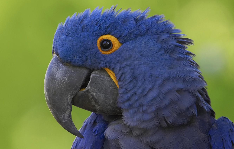 Photo wallpaper Blue, Parrot, Beak