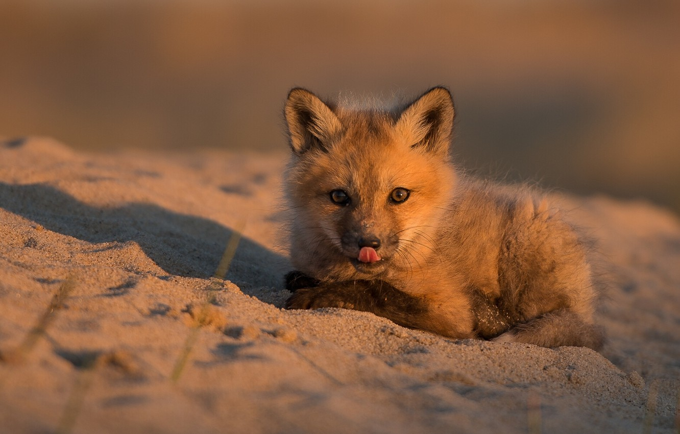 Photo wallpaper sand, baby, Fox, cub, Fox