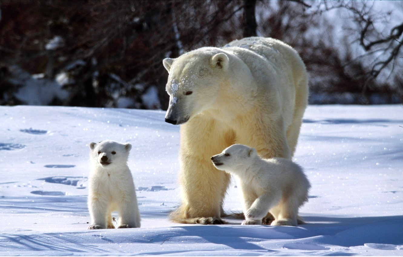 Photo wallpaper winter, snow, bear, family, three, bears, Sunny, bear, sparkles, Polar