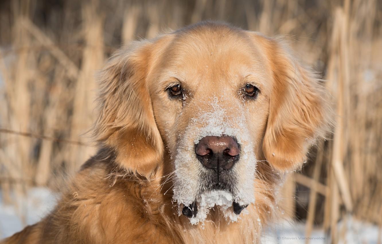 Wallpaper Look Face Snow Dog Dog Golden Retriever