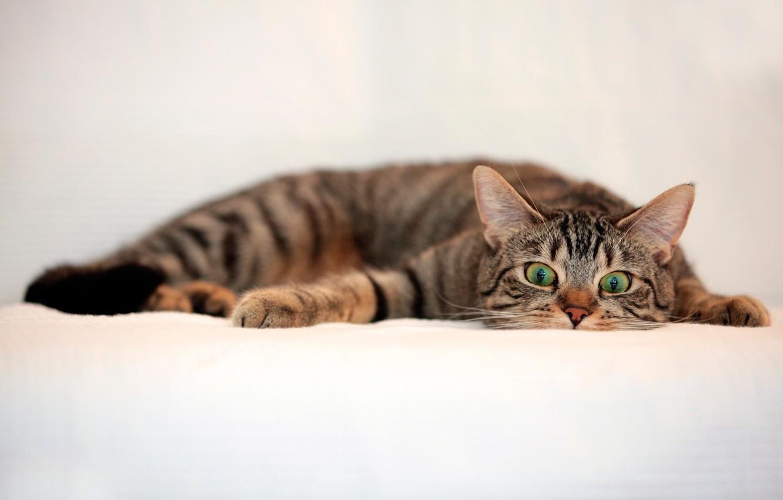 Photo wallpaper cat, look, striped