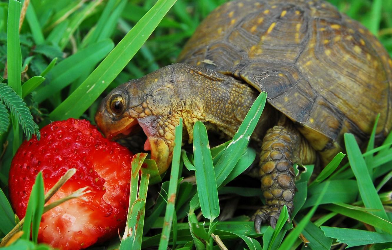 Photo wallpaper grass, turtle, strawberries