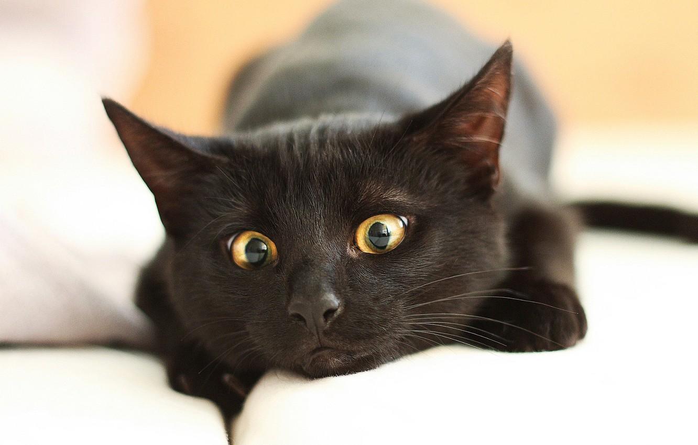 Photo wallpaper eyes, cat, close-up, black, muzzle, lies, resting, bokeh