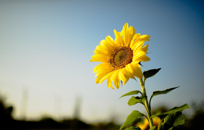Photo wallpaper flower, sunflower, yellow petals