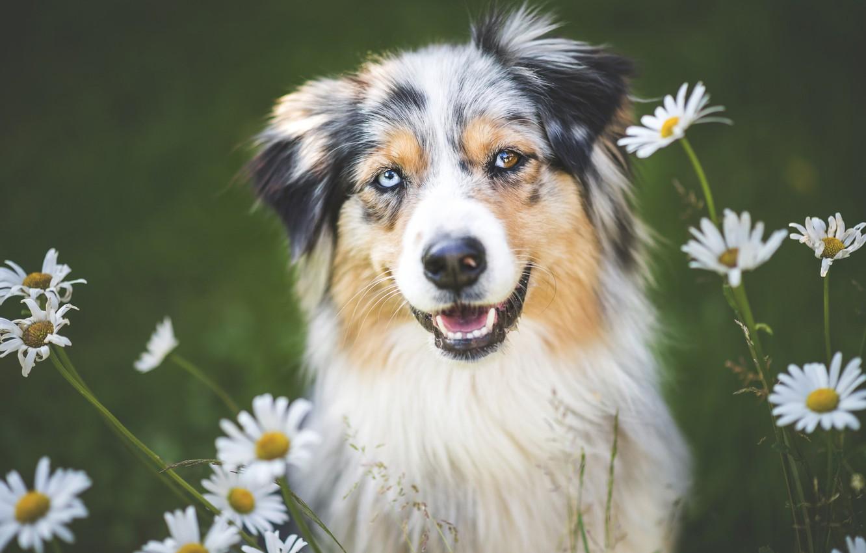 Photo wallpaper flowers, chamomile, dog, Wallpaper from lolita777, Aussie