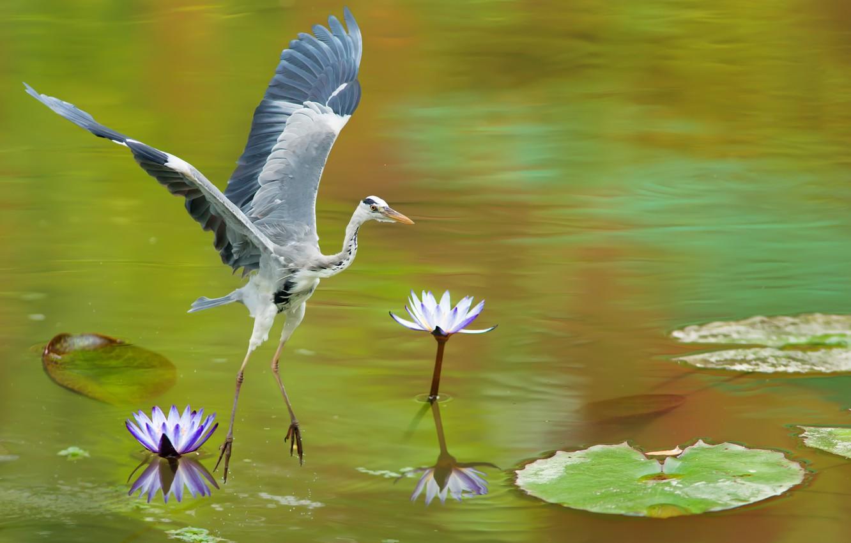 Photo wallpaper lake, bird, grey, Heron, water lilies