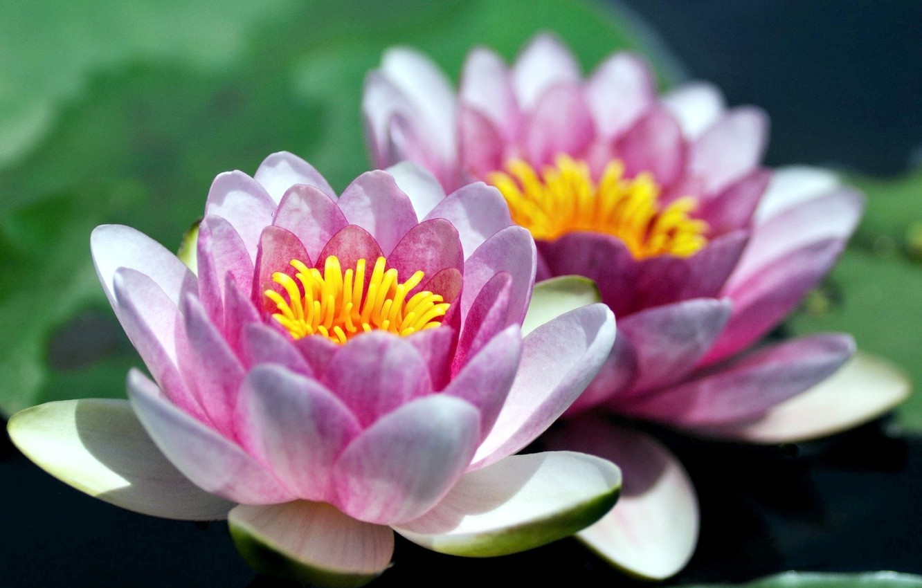 Photo wallpaper flowers, Lily, petals, water