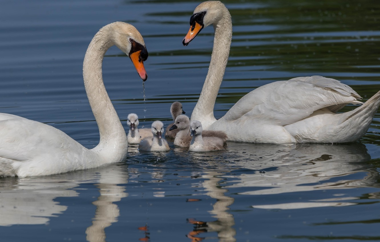 Photo wallpaper family, pair, swans, Chicks, pond, the Lebeda