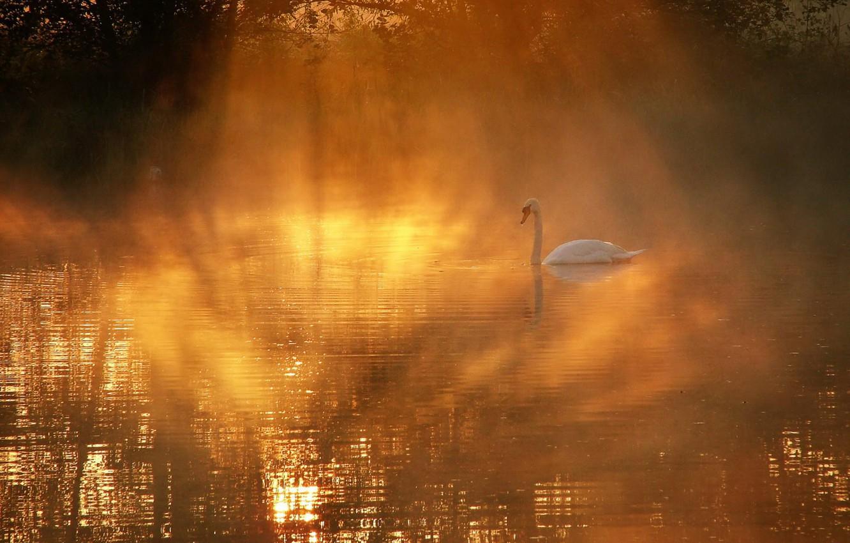 Photo wallpaper fog, lake, Swan