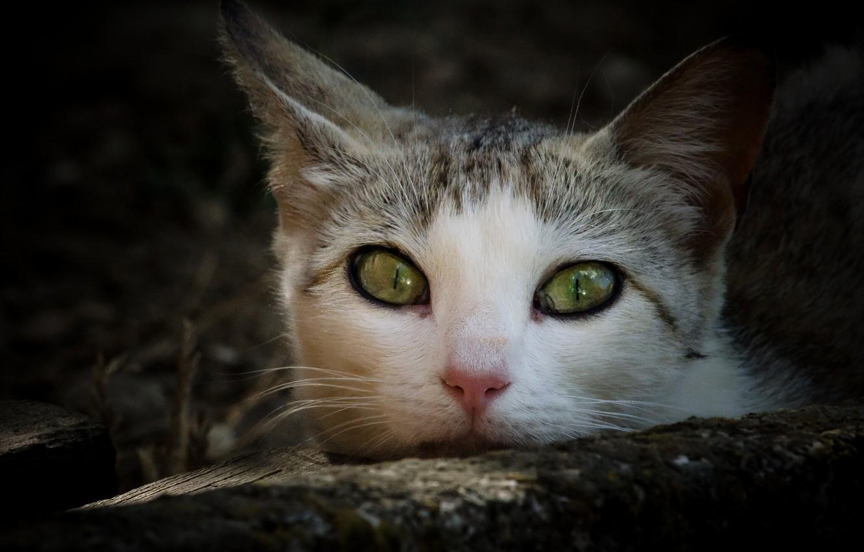 Photo wallpaper cat, look, muzzle
