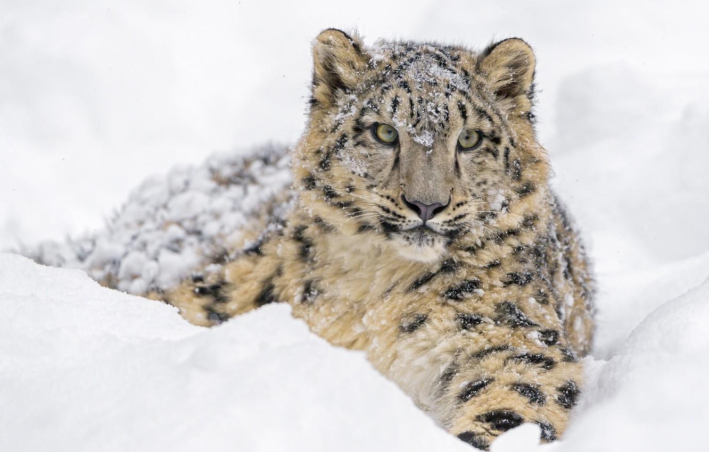 Photo wallpaper winter, face, snow, predator, lies, IRBIS, snow leopard, cub, wild cat, zoo, young, snow leopard