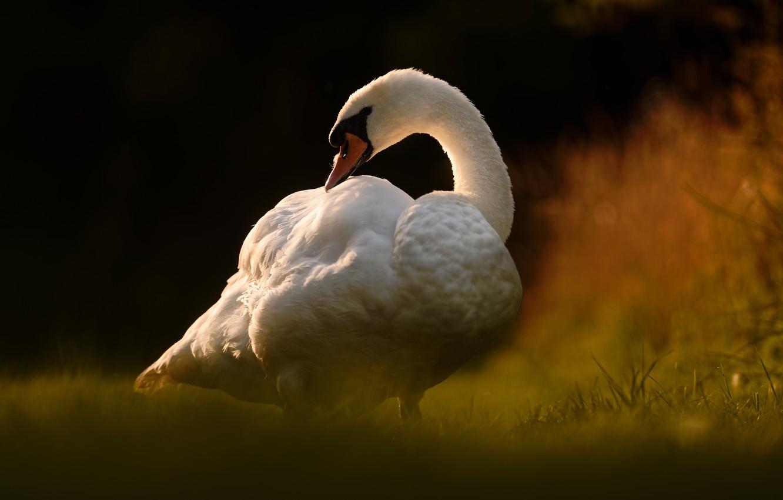 Photo wallpaper bird, Swan, bokeh