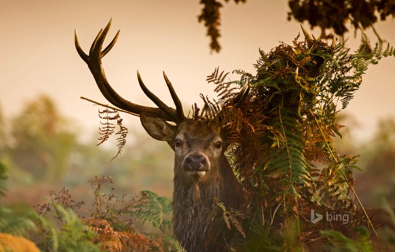 Photo wallpaper grass, leaves, thickets, England, London, deer, horns, Richmond Park