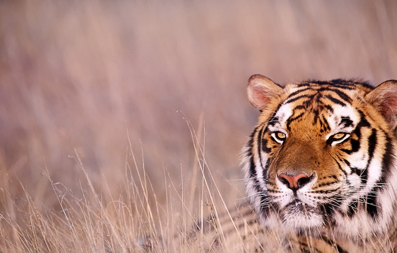 Photo wallpaper grass, look, tiger