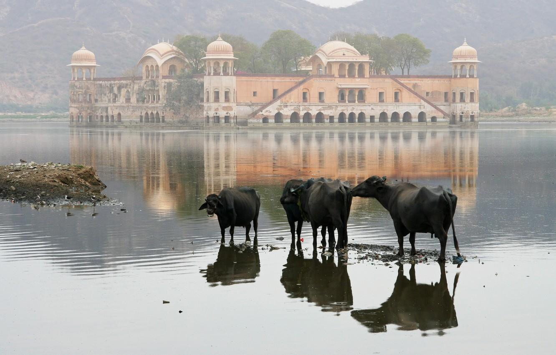 Фотообои пейзаж, природа, озеро, дом, обои, гора, коровы, wallpaper, Индия