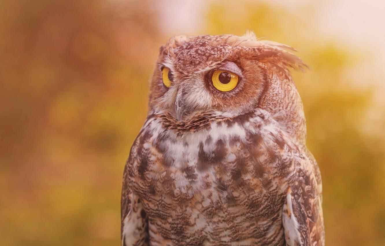 Photo wallpaper background, owl, bird, Virgin Filin