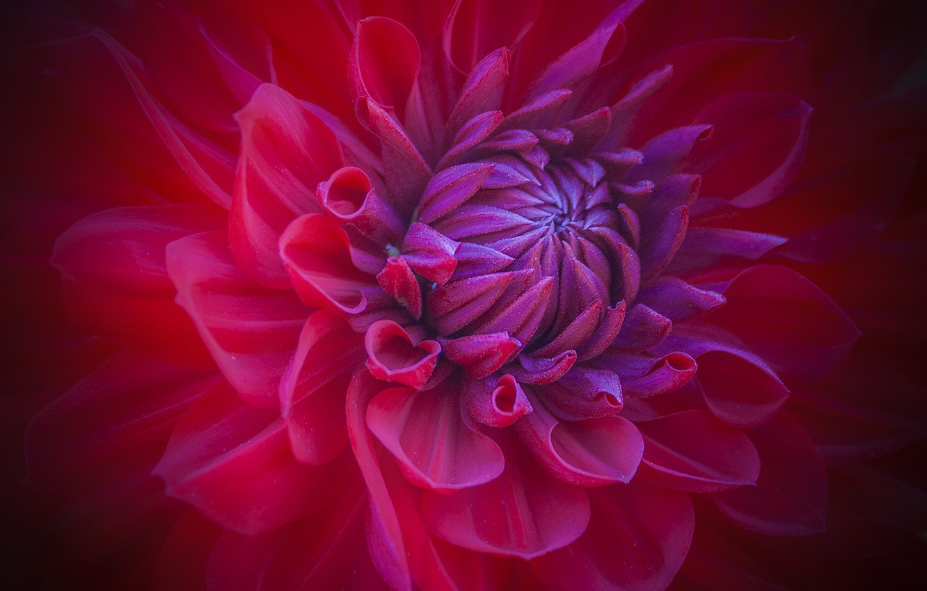 Photo wallpaper flower, macro, red, petals, Bud
